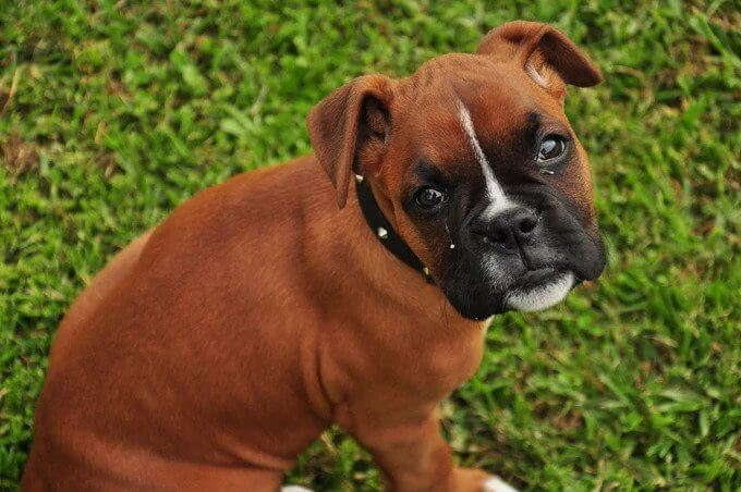 Short Haired BOXER Dogs