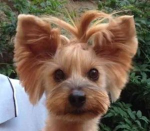 Sloppy Frontal Yorkie Haircuts