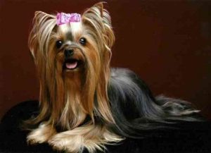 Style Cabinet haircuts of Yorkie
