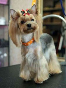 Style Frame haircuts of Yorkie