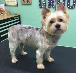 The Adorable Yorkie Haircuts