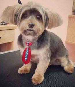 The Geek Yorkie Haircuts