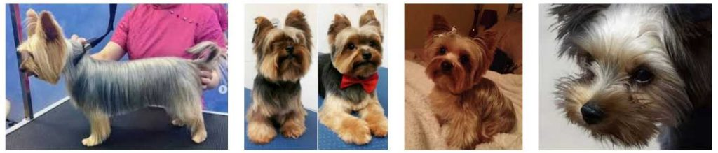 Yorkie Haircuts 3
