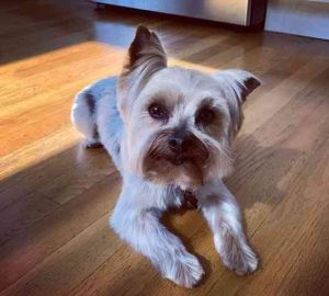 Yorkie Haircuts Brown Snout