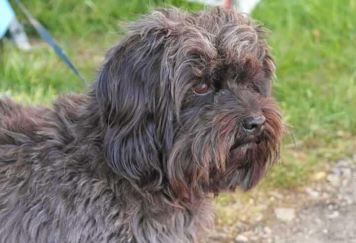 affenpinsher black dog breed