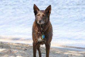australian kelpie black dog