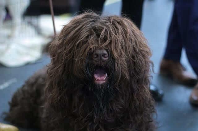 barbet black dog breed