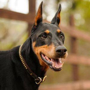 Black Dog Breeds