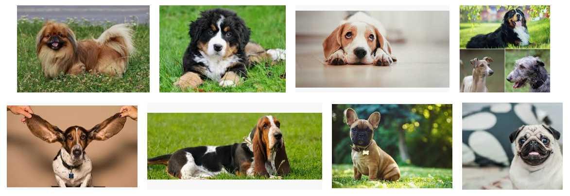 calm dog breeds 1