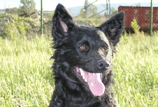 croatian sheepdog black dog