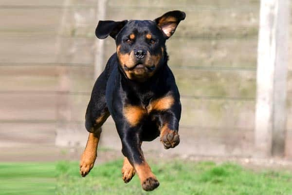 do rottweilers shed a lot 1