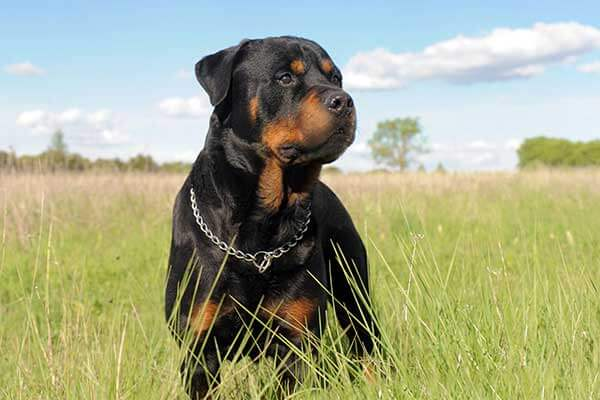 do rottweilers shed 2