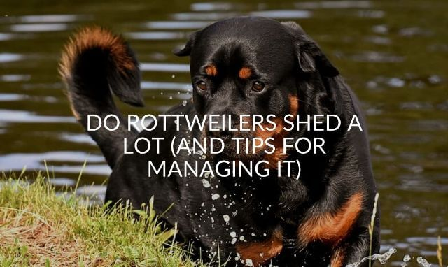 do rottweilers shed a lot 3