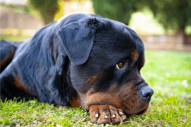 do rottweilers shed a lot 4