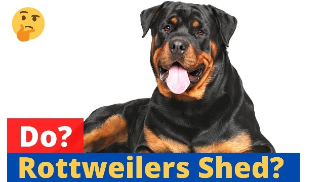 do rottweilers shed 6