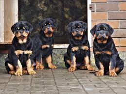 do rottweilers shed a lot 8