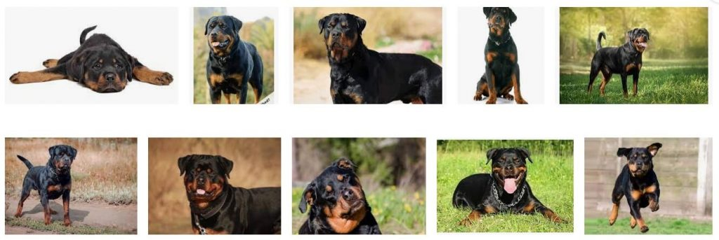 do rottweilers shed a lot
