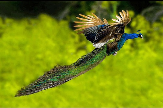 flying peacocks 2