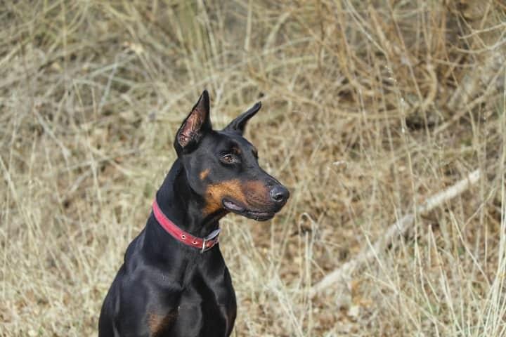 german pinscher black dog