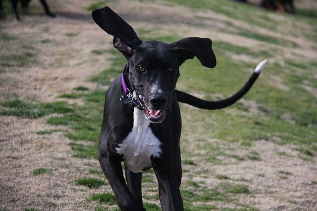 great dane for families
