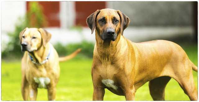 hound dog breeds 2