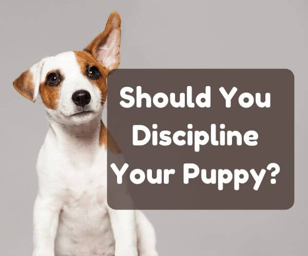 how to discipline a puppy