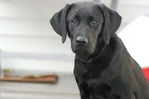 labrador most intelligent dog breeds