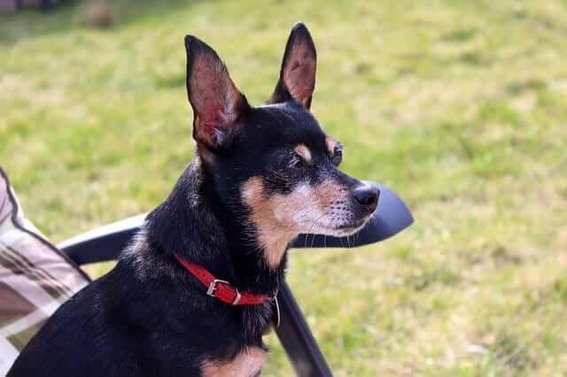miniature pinscher black dog