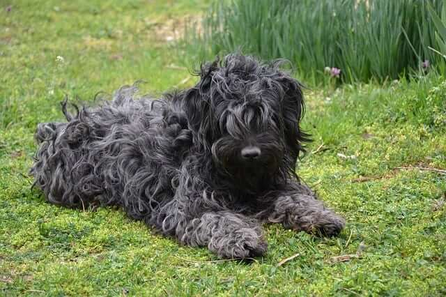 puli black dog