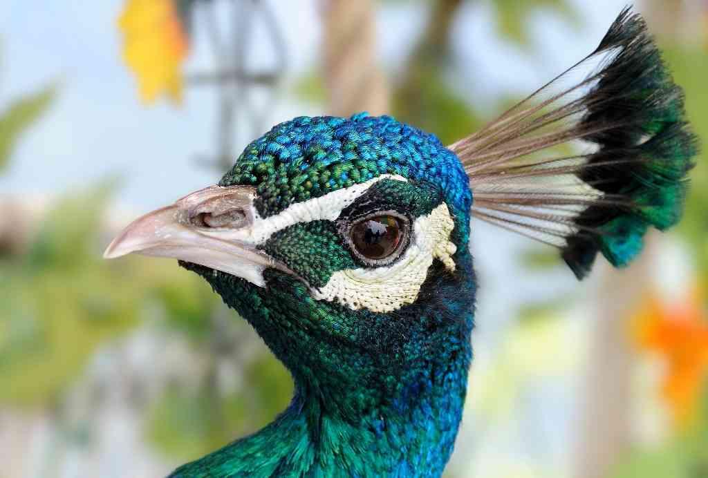 raising peacocks 1