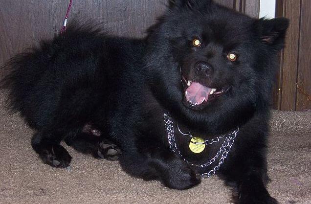swedish lapphund black dog