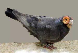 Barb Pigeon breeds