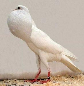 Brunner Pouter Pigeon breeds