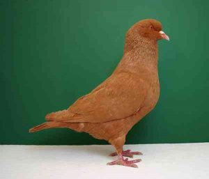 Carneau Pigeon