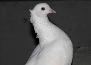 Cumulet Pigeon