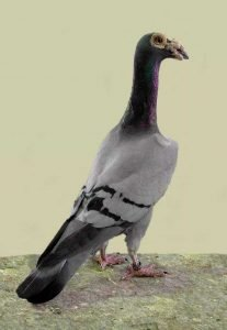 English Carrier Pigeon breeds