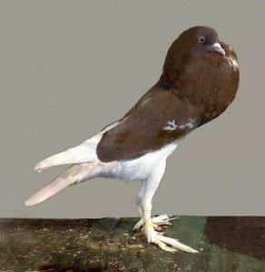English Pouter Pigeon breeds