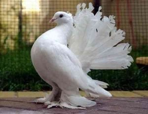 Fantail Pigeon