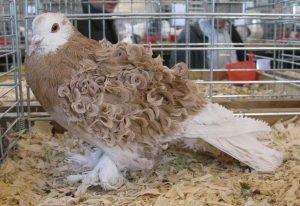 Frillback Pigeon breeds