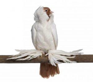 German Helmet Pigeon breeds