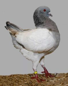 German Modena Pigeon breeds