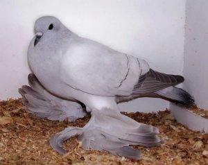 Ice Pigeon breeds