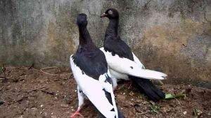 Magpie Pigeon