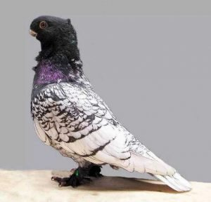 Oriental Frill Pigeon breeds