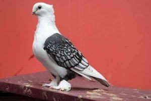 Oriental Frill Pigeon