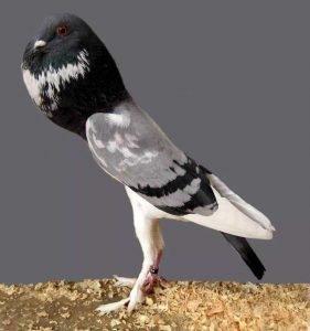 Pigmy Pouter Pigeon breeds
