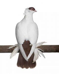 Polish Helmet Pigeon breeds