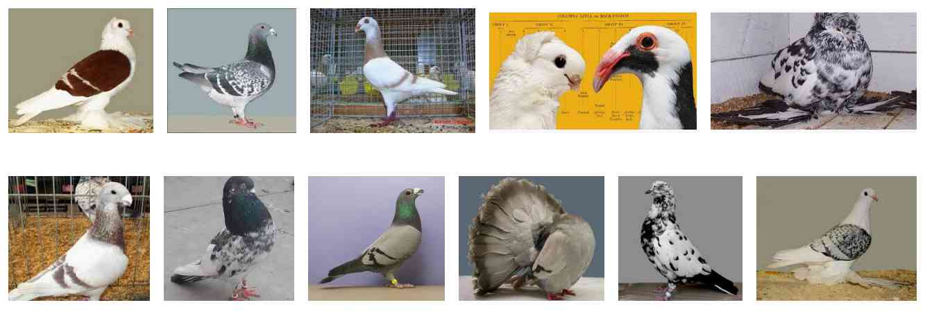 Popular Pigeon Breeds