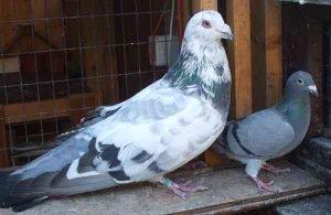 Runt Pigeon