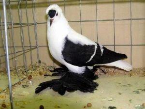 Saxon Fairy Swallow Pigeon breeds